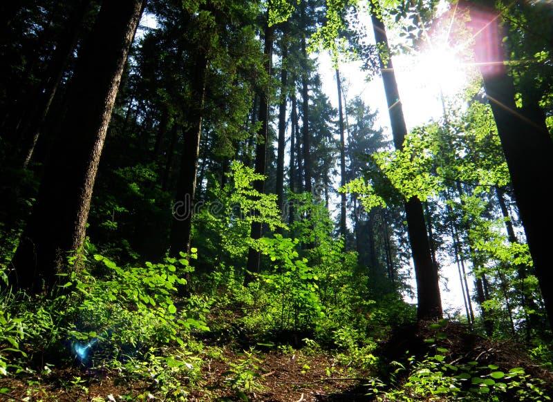 早晨阳光在森林里 免版税库存照片