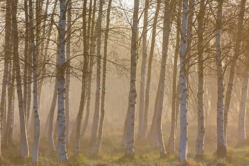 早晨雾在桦树森林 免版税库存图片