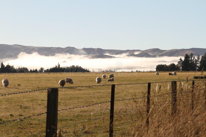 早晨绵羊有有雾的背景,新西兰 免版税库存照片
