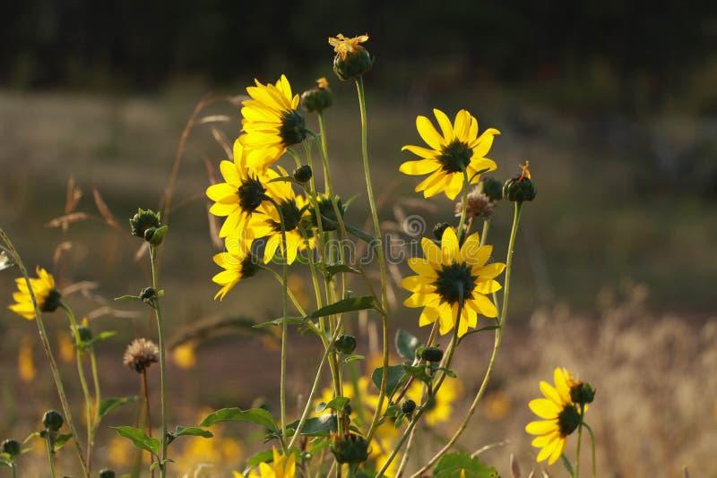 早晨Sunflowera 免版税库存图片