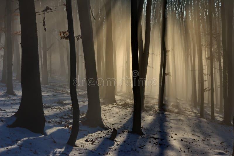 早期的光的山毛榉森林 免版税库存照片