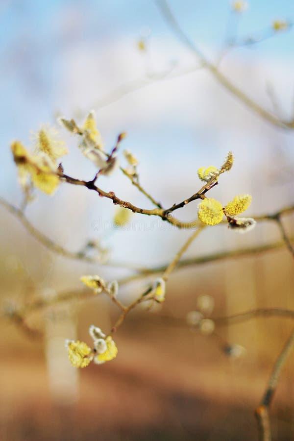 早期的春天上色小叶子温暖的天气蓝色黄色 库存照片