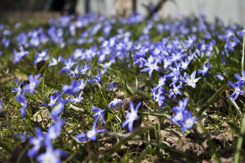 早期的春天在斯德哥尔摩开花,瑞典 Scill bifolia 免版税图库摄影