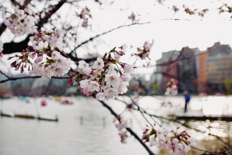 早期的春天日本人佐仓樱花,开花的花  库存照片