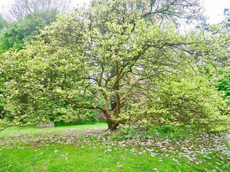 早期的春天结构树 库存照片