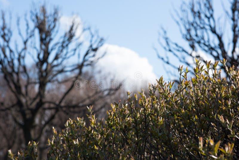 早期的春天背景  灌木的年轻叶子 免版税图库摄影