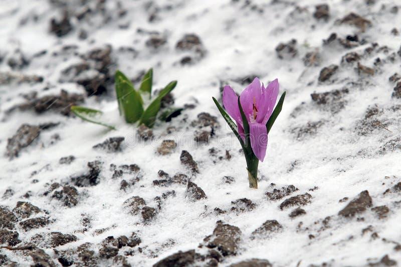 早期的春天紫色番红花绽放,但是他突然回到了Th 图库摄影