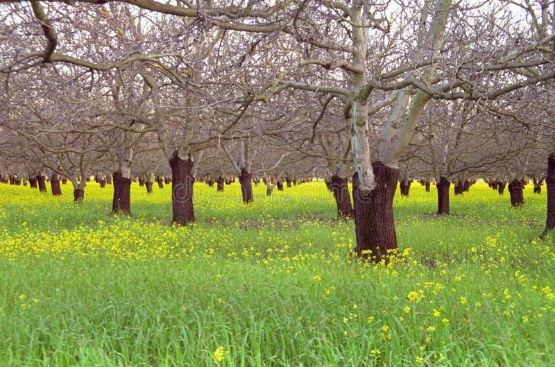 早期的果树园春天核桃 库存照片