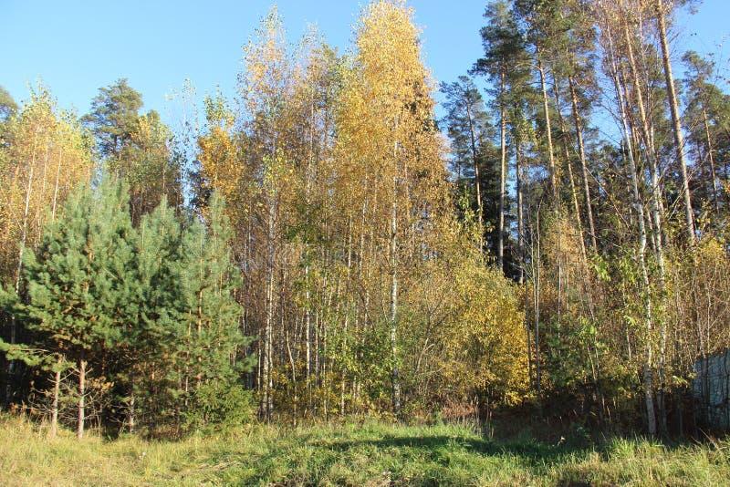 早期的秋天树开始转动黄色 库存照片