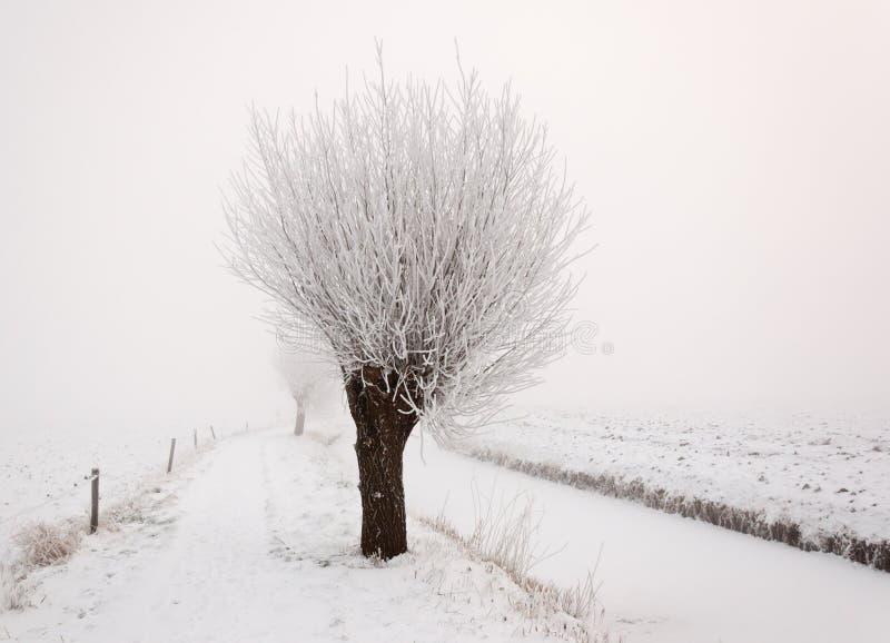 早期的薄雾早晨角被割下的动物杨柳 库存照片