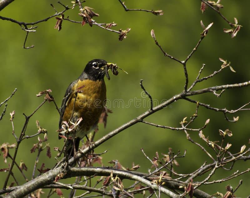 早期的鸟得到蠕虫 免版税库存照片