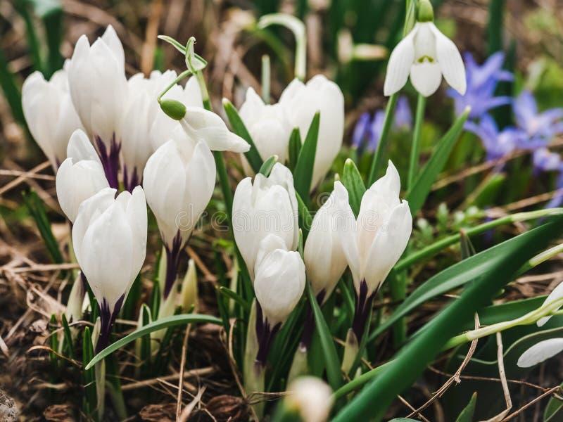 早期,明亮,春天番红花和scilla花 免版税图库摄影