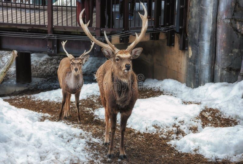 旭川,北海道,日本2019年3月13日:Sika鹿在朝日山动物园里 库存照片