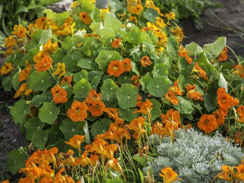 旱金莲,金莲花属majus,开花在庭院里 免版税库存图片