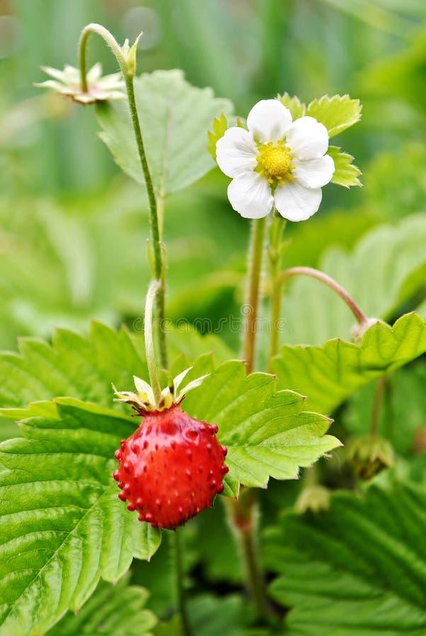 时段丛生通配的草莓 草莓属vesca 库存照片