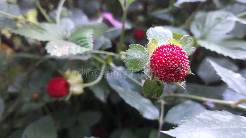 时段丛生通配的草莓 免版税图库摄影