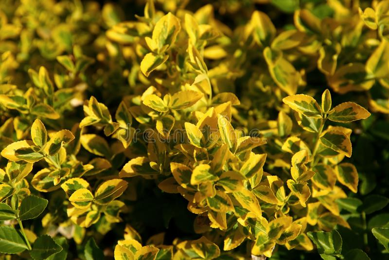 时运的卫矛是与密集生长的壮观的灌木深绿和淡黄的叶子 库存照片