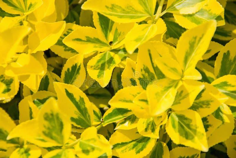 时运` s纺锤卫矛fortunei在庭院里 wintercreeper鲜绿色金黄叶子细节  关闭黄色和绿色l 免版税库存图片