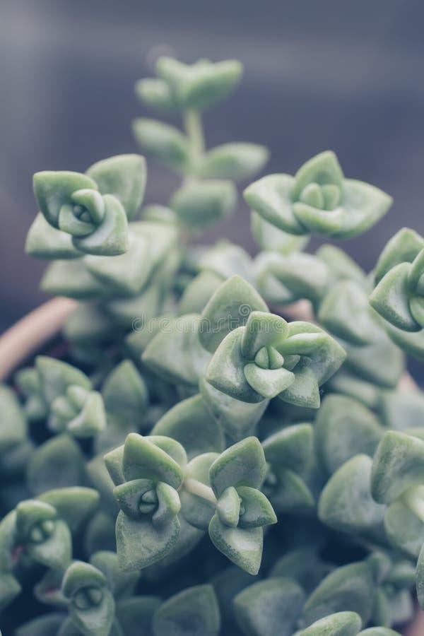 时髦多汁植物关闭或宏观射击 库存照片