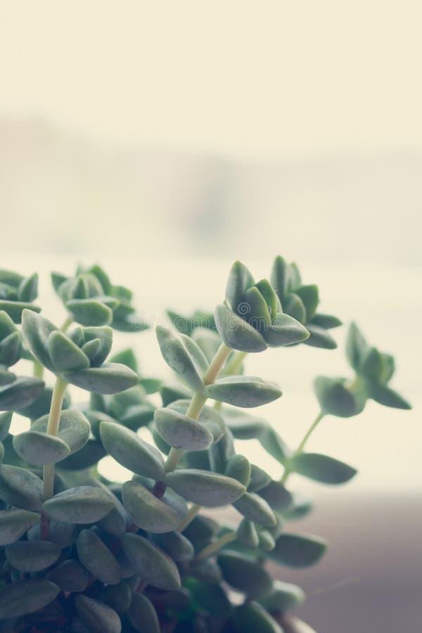 时髦多汁植物关闭或宏观射击 库存图片