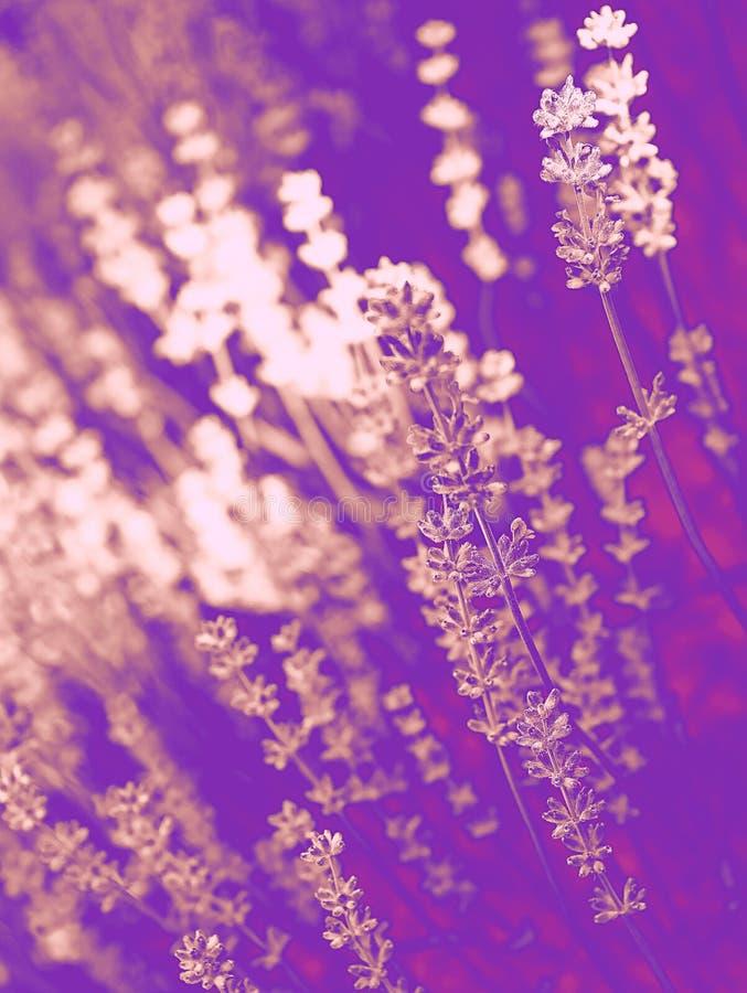 时髦设计、自然和背景概念:接近在花的紫外和桃红色duotone在的淡紫色领域 免版税库存图片