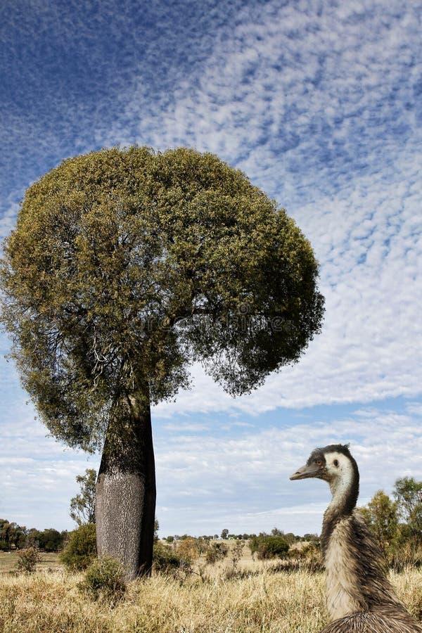 昆士兰与鸸的瓶树在前景 库存图片
