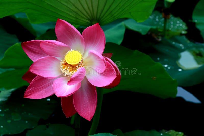昆明, China湖莲花摄影 库存图片