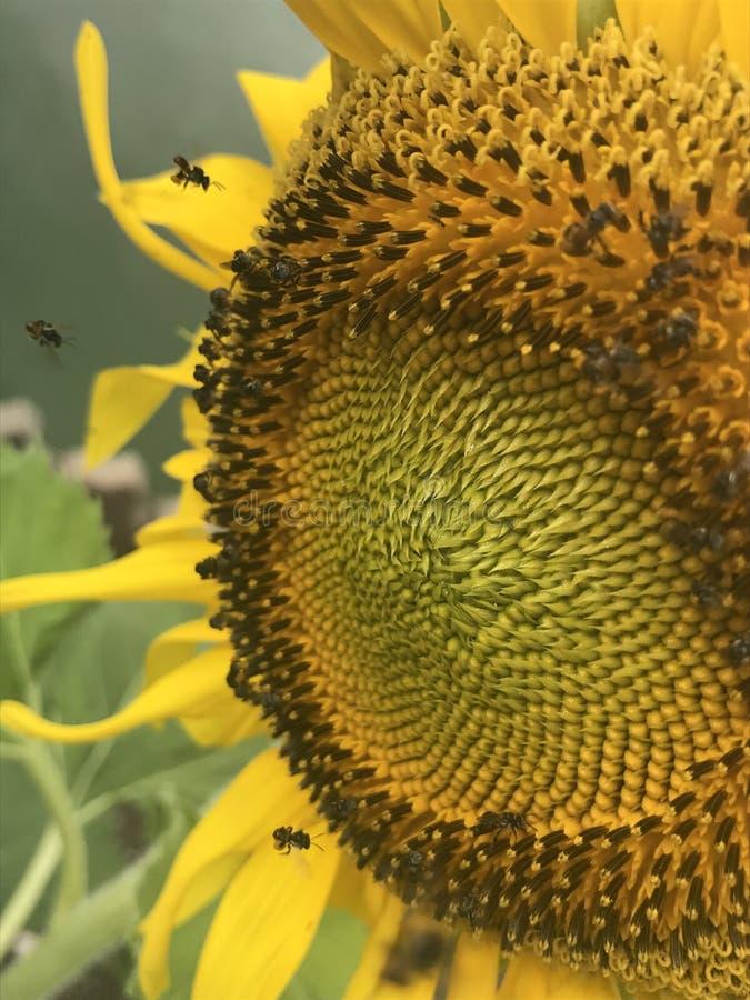昆虫向日葵 图库摄影