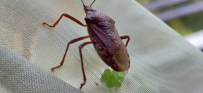 昆虫和鸡蛋 免版税库存照片
