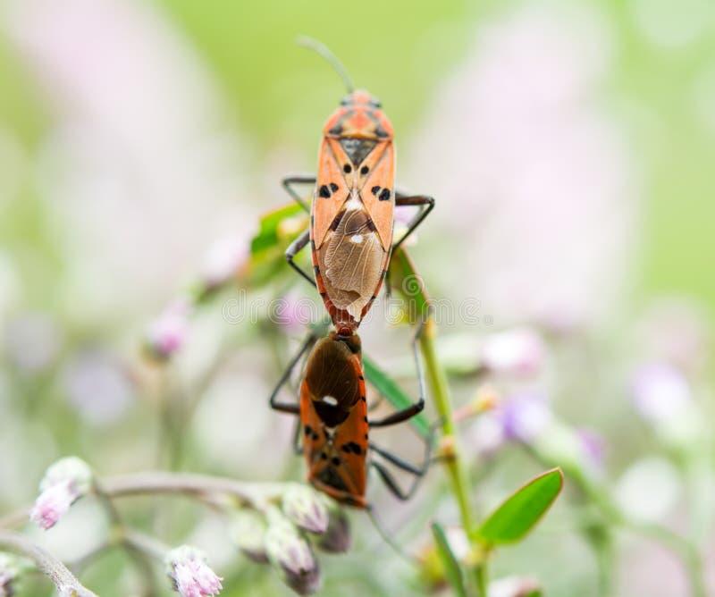 昆虫在花养殖 免版税库存图片