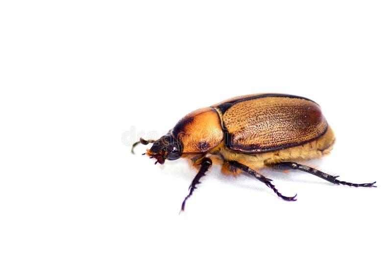 昆虫查出的白色 图库摄影
