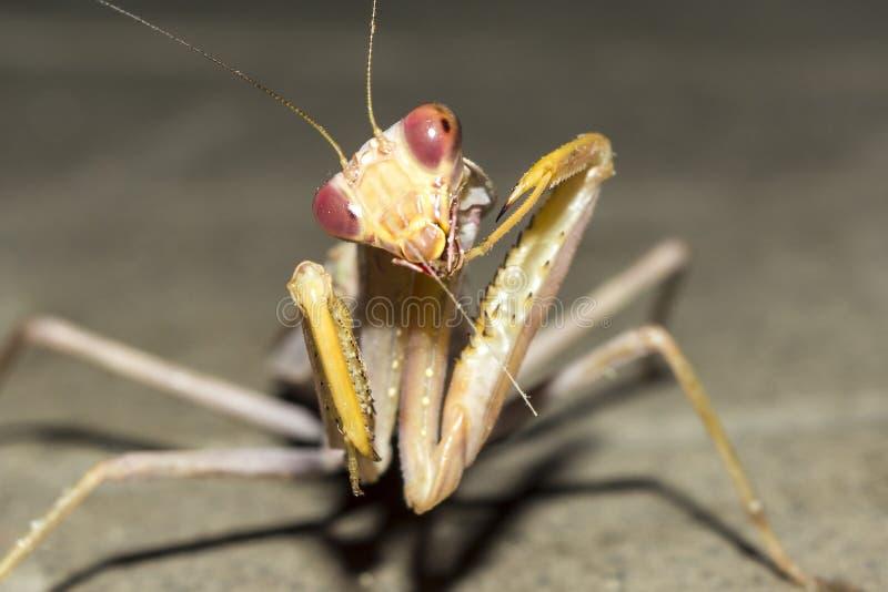 昆虫欧洲螳螂在晚上,特写镜头狂放的自然背景 免版税库存照片
