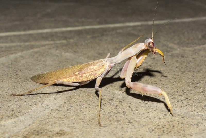 昆虫欧洲螳螂在晚上,特写镜头狂放的自然背景 库存照片
