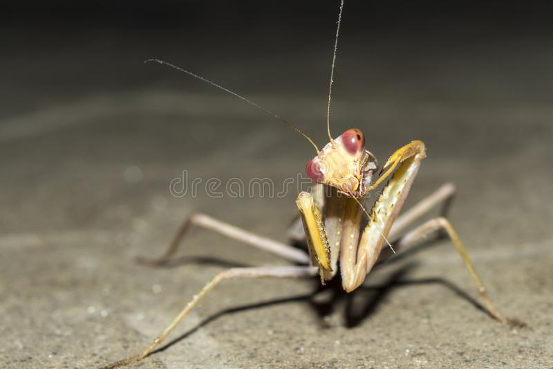 昆虫欧洲螳螂在晚上,特写镜头狂放的自然背景 免版税图库摄影