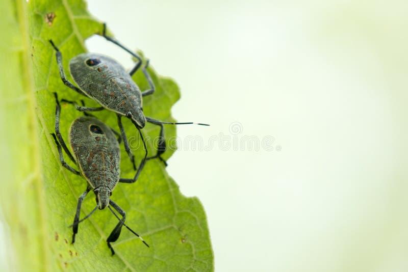 昆虫的图象在一片绿色叶子的 库存图片