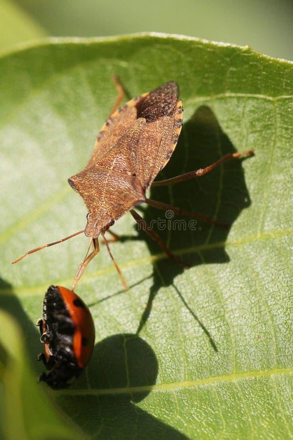 昆虫臭虫和瓢虫 免版税图库摄影