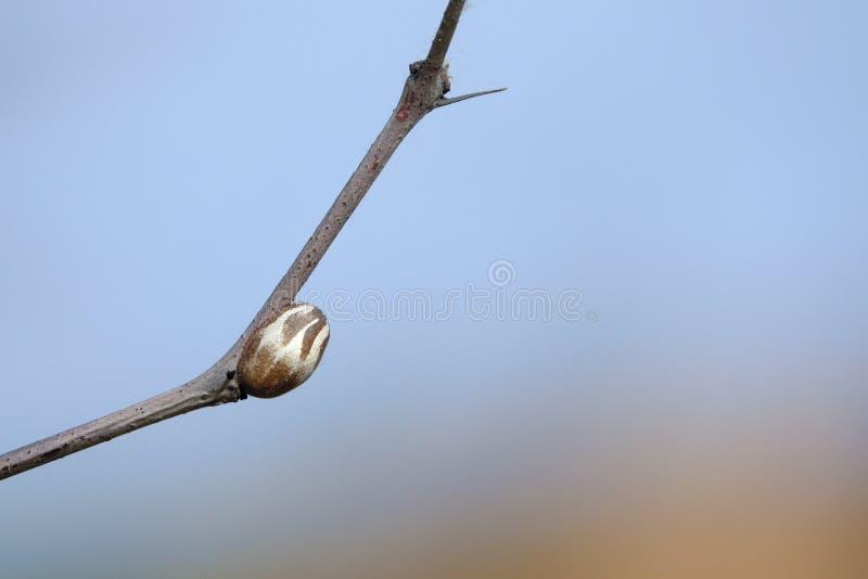 昆虫蛹 库存图片