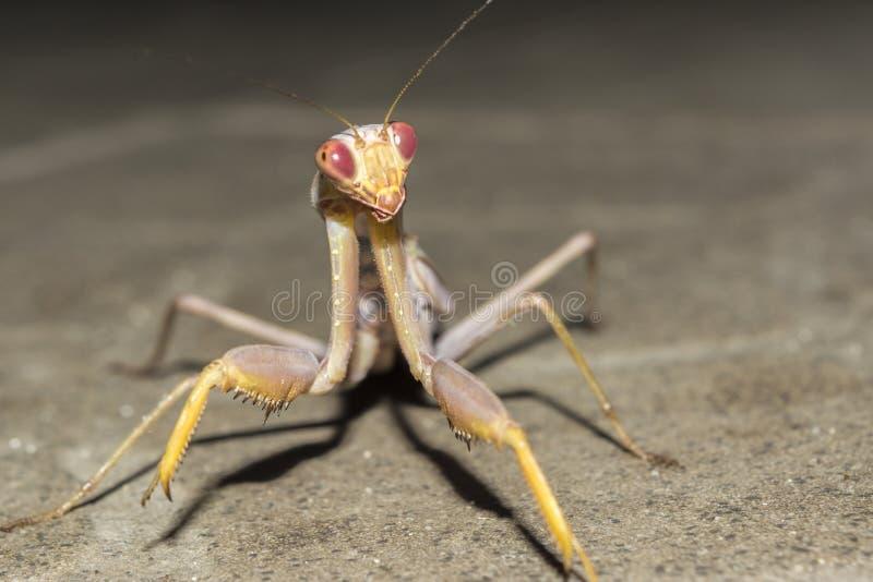 昆虫螳螂在晚上,特写镜头狂放的自然背景 库存照片