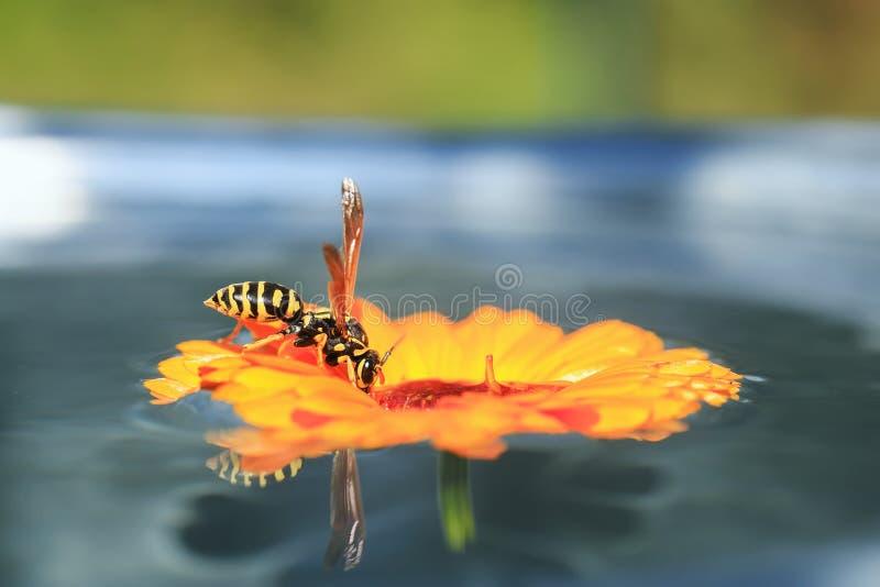 昆虫镶边黄蜂在花登陆了在漂浮在水和喝从它的庭院里 免版税库存图片