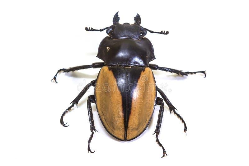 昆虫,甲虫,臭虫,在类Odontolabis 图库摄影
