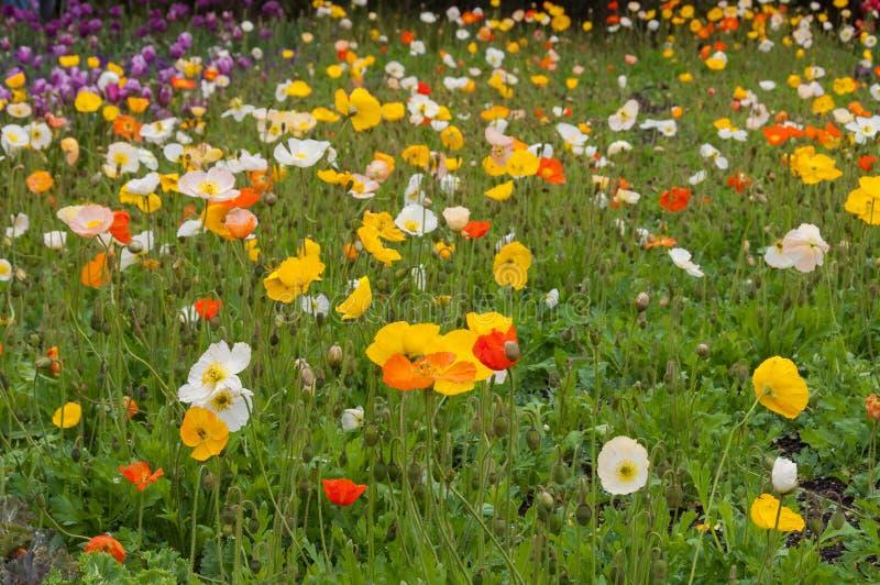 明亮和五颜六色的东方罂粟花在花圃里 库存图片