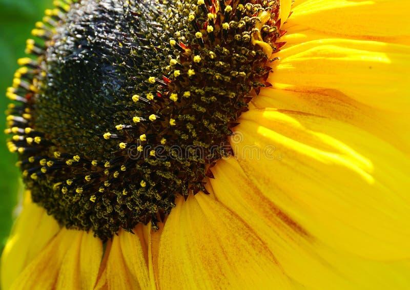 明亮和华丽的大黄色向日葵顶头关闭 免版税库存照片