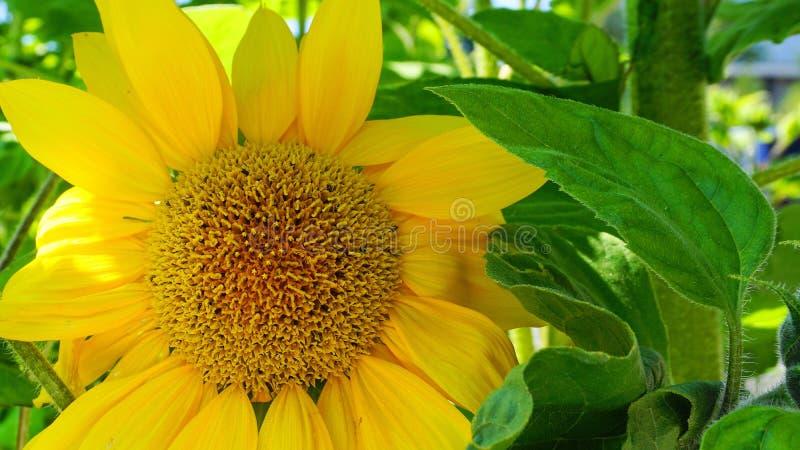 明亮和华丽的大黄色向日葵顶头关闭 库存图片