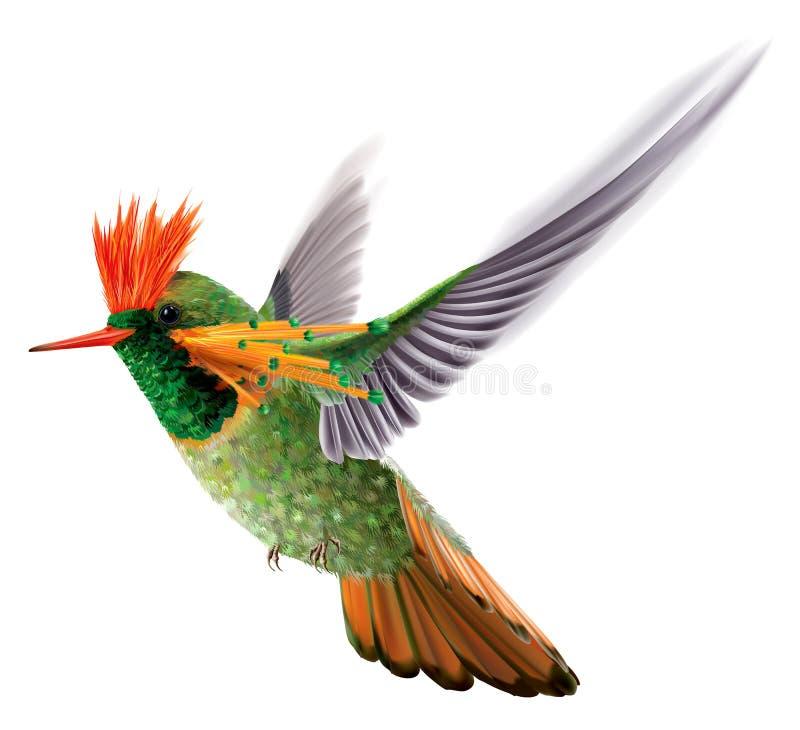 明亮地色的蜂鸟装缨球蜂鸟Lophornis ornatus 皇族释放例证