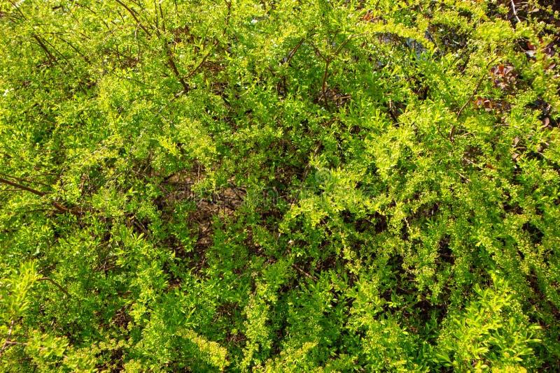 明亮地被点燃的绿色灌木 免版税库存图片