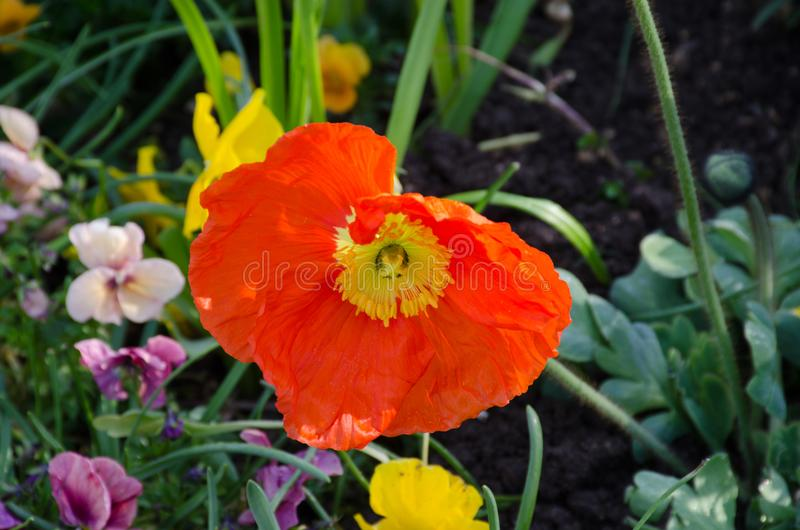 明亮橙色鸦片样式花卉生长 免版税图库摄影