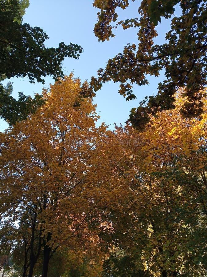 明亮的五颜六色的橙色秋天树在天空蔚蓝背景离开 免版税库存照片