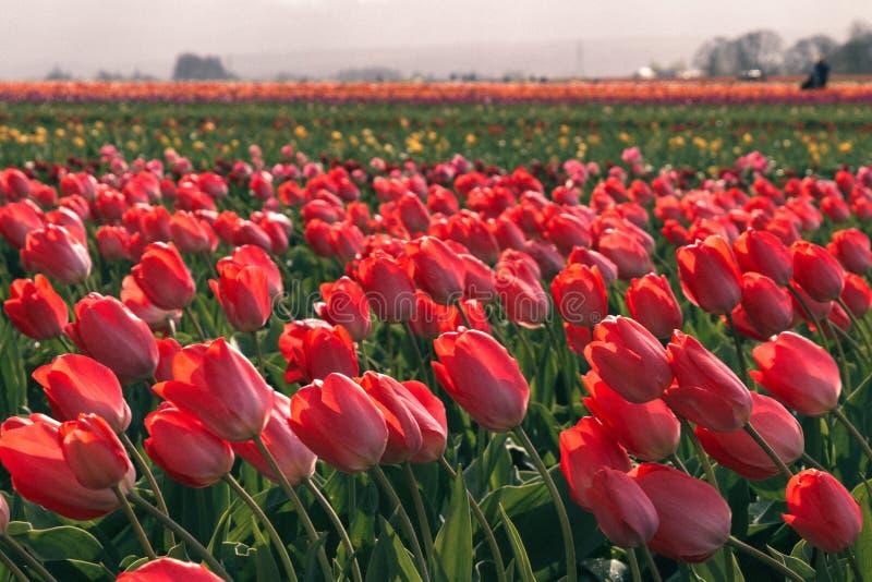 明亮的五颜六色的郁金香的领域的一个美好的领域的特写镜头 库存图片
