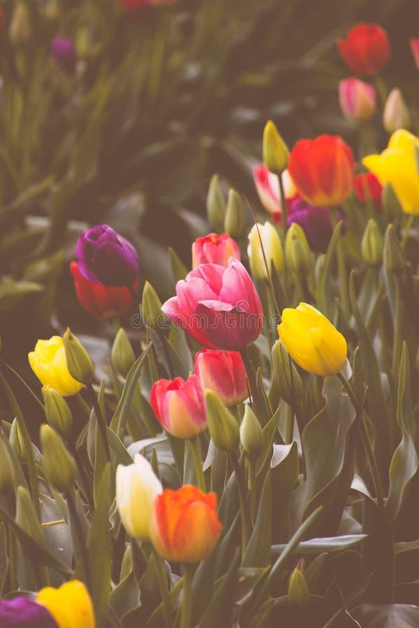 明亮的五颜六色的郁金香的领域的一个美好的领域的特写镜头 免版税库存照片