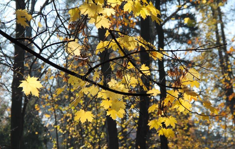 明亮的叶子槭树黄色 免版税图库摄影